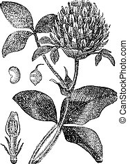 Red Clover or Trifolium pratense, vintage engraving - Red...