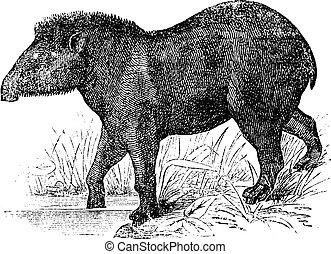 American tapir (Tapirus Americanus), vintage engraving. -...