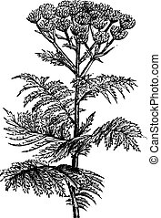 Tansy Tanacetum vulgare or Common Tansy, vintage engraving -...