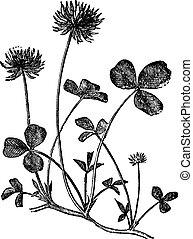 White Clover or Trifolium repens, vintage engraving - White...