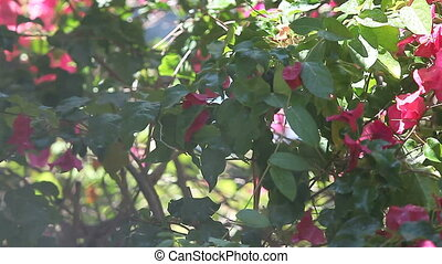 showering bird on a warm day - chickadee in bougainvillea...