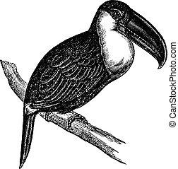 Lettered Aracari or Pteroglossus inscriptus, vintage...