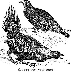 Cock of the Plains (Centrocercus urophasianus) or Sage grouse, female (top figure) and male, vintage engraving.