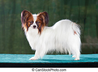 Papillon dog - Dog of breed papillon on a green background
