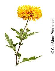 chrysanthemum - Yellow chrysanthemum isolated on a white...