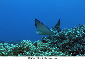 Spotted Eagle Ray - This is a picture of a Spotted Eagle Ray...