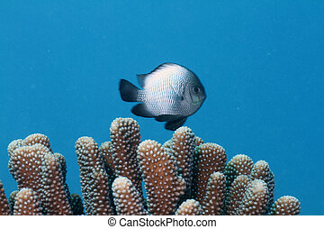 Hawaiian Dascyllus - This is a picture of the Hawaiian...