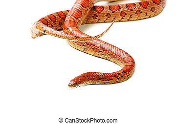 Corn snake Elaphe guttata - Corn snake on the white...