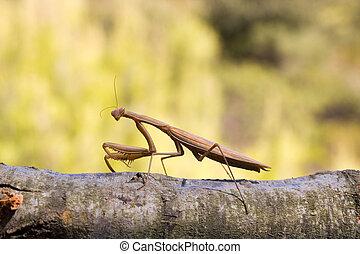 Brown mantis - Large brown praying mantid, Archimantis...