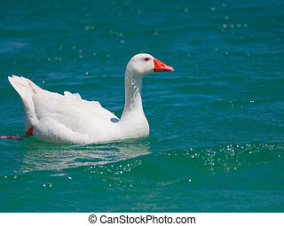 Wild white goose with bright orange beak floating on blue water of pure lake in Greece