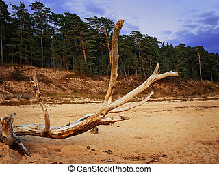 evening on the beach - old dry tree on the beach against...