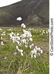 Common cottongrass Eriophorum angustifolium - Leaves and...