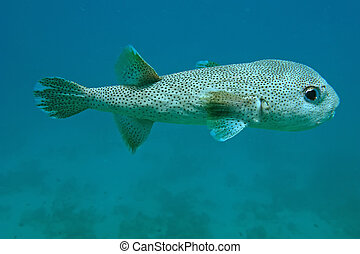 Porcupine fish - Black dotted porcupine fish of the Red Sea...