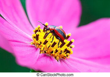 Red and black beetle. - Red and black beetle at the Cosmos...