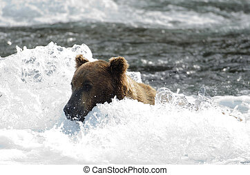 Large grizzly bear standing in water - A large Alaskan brown...