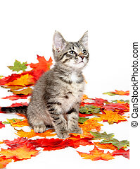 Cute tabby kitten in colorful leaves - Cute tabby cat...