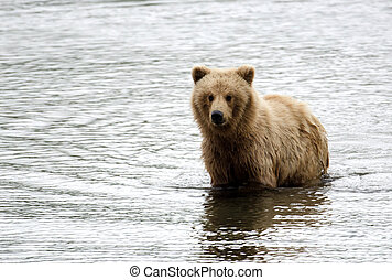 Alaskan brown bear swimming in a pond - A grizzly bear...