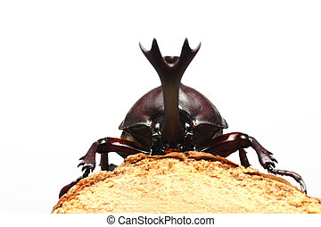 Rhinoceros beetle on sawtooth oak, caught in Japan