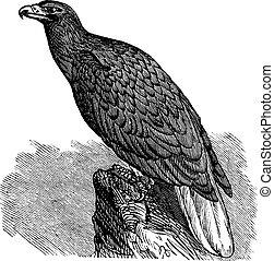 Eagle of Europe (Haliaeetus albicilla) or White-tailed...