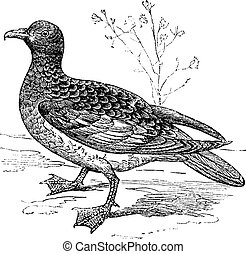 Cape Petrel or Cape Pigeon or Daption capense, vintage...