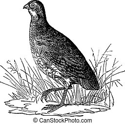 Bobwhite Quail or Northern Bobwhite or Virginia Quail or...