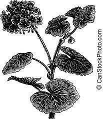 Geranium or Storksbill or Pelargonium sp, vintage engraving...