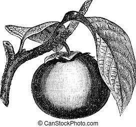 Japanese Persimmon or Diospyros kaki, vintage engraving -...