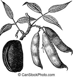 Physotigma Poisons Physostigma venenosum or Calabar Bean,...