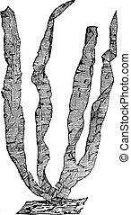 Seaweed or Porphyra sp, vintage engraving - Seaweed or...