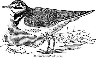 Ringed Plover or Charadrius hiaticula, vintage engraving -...