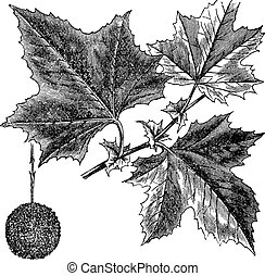 American Sycamore or Platanus occidentalis, vintage...