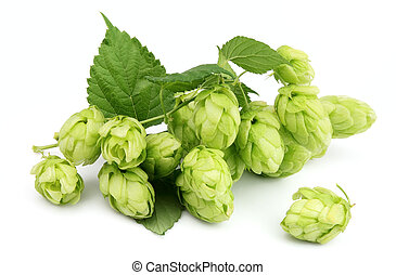 Blossoming hop with leaves on a white background