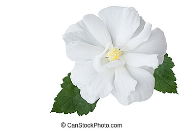Hibiscus - Multi petals hibiscus flower isolated on white