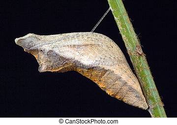 Swallowtail butterfly Pupa Isolated - Swallowtail butterfly...