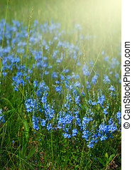 Blue flowers - Meadow with spring blue flowers under sun...