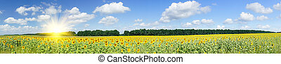 Plantation of golden sunflowers. - Wonderful panoramic view...