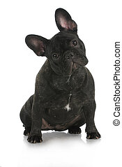 french bulldog sitting with reflection on white background