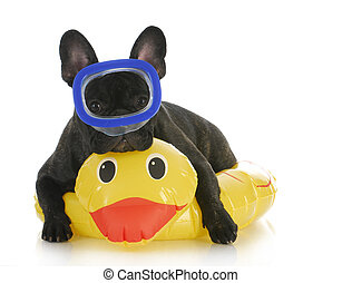 dog swimming - french bulldog wearing life perserver and...