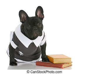 dog obedience school - french bulldog wearing shirt sitting...