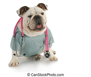 veterinary care- english bulldog doctor with stethoscope
