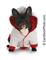 dog wearing sweater - french bulldog with silly expression...