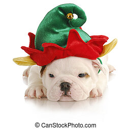puppy elf - english bulldog dressed up like christmas elf on...
