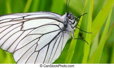 white butterfly on green leaf macro - aporia crataegi