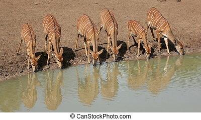 Nyala antelopes drinking - Female Nyala antelopes...