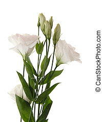 white lisianthus flowers, top of the shoot