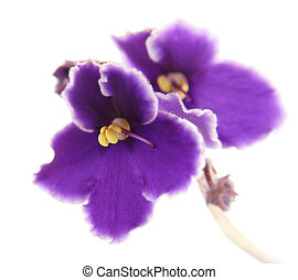 african violet (Saintpaulia) macro, isolated