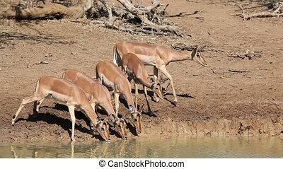 Impala antelopes drinking - Impala antelopes (Aepyceros...