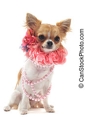 chihuahua with pearl collar - portrait of a cute purebred...
