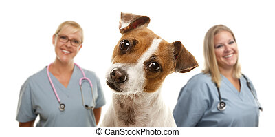 Jack Russell Terrier and Veterinarians Behind - Adorable...