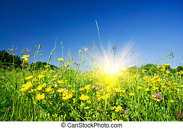 Nice field flowers against the blue sky and fun sun. - Field...